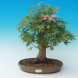 Venkovní bonsai - Acer palmatum-Javor dlanitolistý