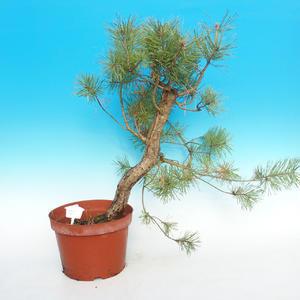 Yamadori - Borovica lesná - Pinus sylvestris