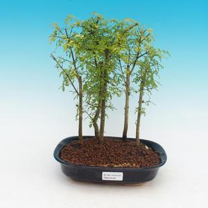 Izbová bonsai - Fraxinus uhdeii - izbový Jaseň - lesík