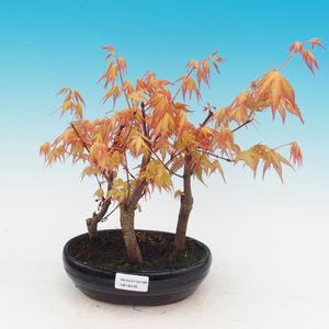 Venkovní bonsai - Javor dlanitolistý oranžový - Acer palmatum KATSURA