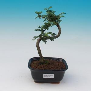 Izbová bonsai - Zantoxylum piperitum - Pepřovník