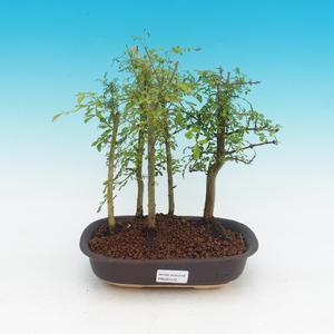 Pokojová bonsai - Fraxinus uhdeii - pokojový Jasan - lesík