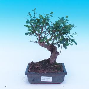 Venkovní bonsai - Pinus mugo Klostercotter - Borovice kleč