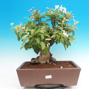 Vonkajší bonsai -Maloplodá jabloň - Malus halliana