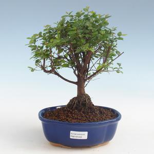 Pokojová bonsai - Sagerécie thea - Sagerécie thea 2191442