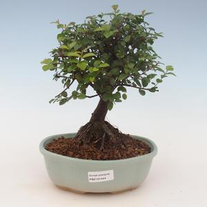 Pokojová bonsai - Sagerécie thea - Sagerécie thea 2191444