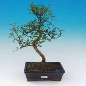 Venkovní bonsai-Pyracanta sp.-Hlohyně