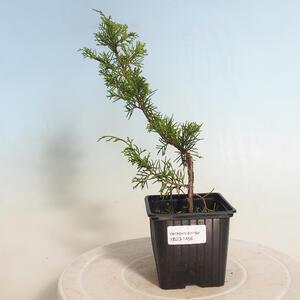 Pokojová bonsai -Ligustrum chinensis - Ptačí zob 2191456