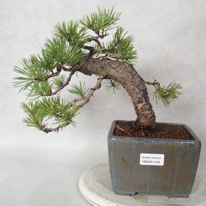 Pokojová bonsai - Carmona macrophylla - Čaj fuki 2191459