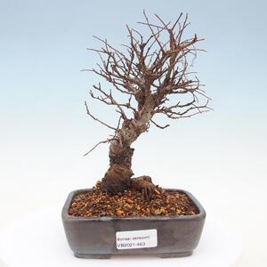 Venkovní bonsai - Zelkova - Zelkova NIRE