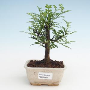 Pokojová bonsai - Zantoxylum piperitum - Pepřovník PB2191467