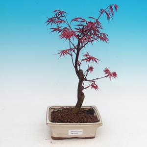 Venkovní bonsai - Acer palm. Atropurpureum-Javor dlanitolistý
