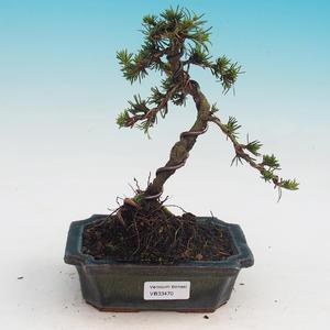 Vonkajšie bonsai - Cedrus Bozkavanie brevifolia - Céder zelený