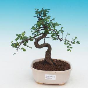 Venkovní bonsai - Javor Buergerianum - Javor Burgerův
