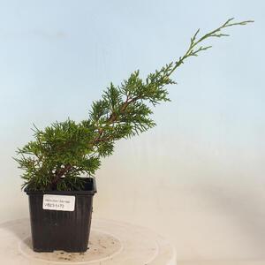 Pokojová bonsai - Sagerécie thea - Sagerécie thea  PB2191473