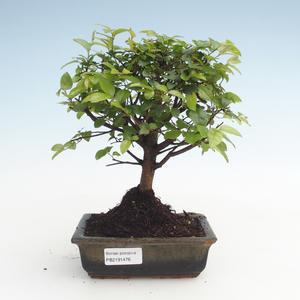 Pokojová bonsai - Sagerécie thea - Sagerécie thea  PB2191476