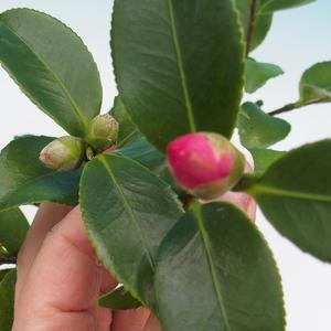 Izba bonsai-Camellia euphlebia-Camellia