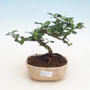 Pokojová bonsai - Carmona macrophylla - Čaj fuki