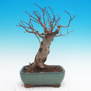 Venkovní bonsai - Tilia cordata - Lípa srdčitá