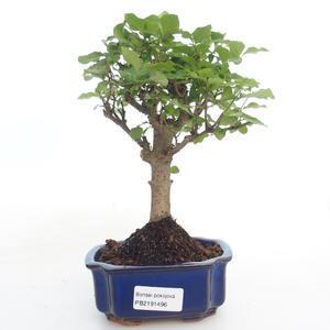 Pokojová bonsai -Ligustrum chinensis - Ptačí zob PB2191496