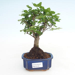 Pokojová bonsai -Ligustrum chinensis - Ptačí zob PB2191491