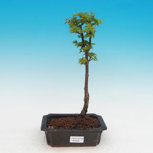 Venkovní bonsai -Javor malolistý SHISHIGASHIRA