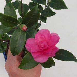Pokojová bonsai-Camellia euphlebia-Kamélie