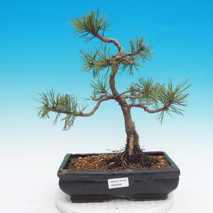 Venkovní bonsai - Pinus mugo mops - Borovice kleč