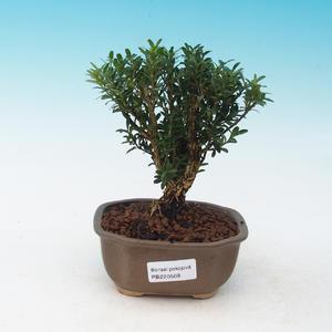 Room bonsai - Buxus harlandii