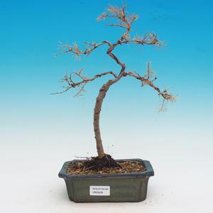 Venkovní bonsai -Modřín opadavý-Larix decidua