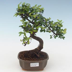 Pokojová bonsai - Ulmus parvifolia - Malolistý jilm PB2191509