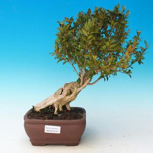 Venkovní bonsai - Buxus