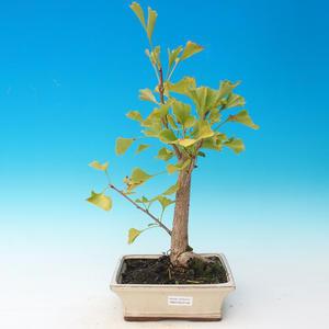 Venkovní bonsai - Jinan dvoulaločný - Ginkgo biloba