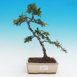 Venkovní bonsai-Pyracanta Teton -Hlohyně