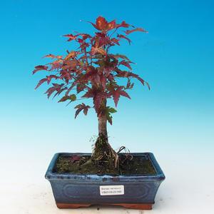 Venkovní bonsai - Acer palmatum Beni Tsucasa - Javor dlanitolistý