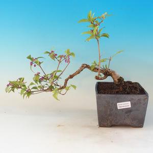 Venkovní bonsai - krásnoplodka Callicarpa
