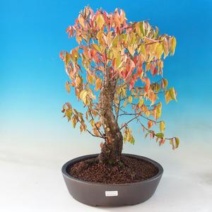 Venkovní bonsai - Dřín - Cornus mas
