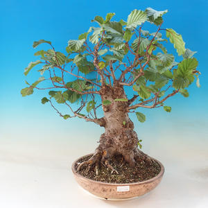 Venkovní bonsai - Olše lepkavá - Alnus glutinosa