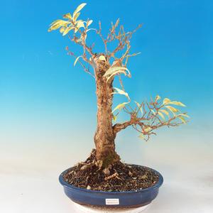 Vonkajšie bonsai - Zlatice - Forsythia