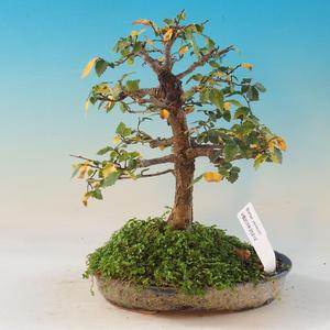 Venkovní bonsai -Ulmus GLABRA Jilm habrolistý
