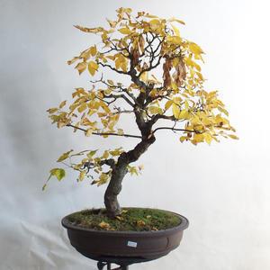 Venkovní bonsai - Javor jasanolistý - Acer negundo