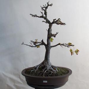 Venkovní bonsai - Javor klen - Acer platanoides