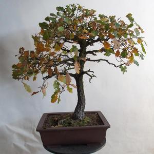 Venkovní bonsai Quercus - dub