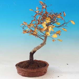 Venkovní bonsai -Habr obecný