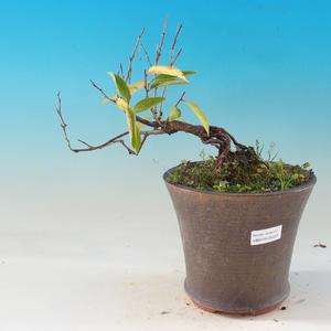 Venkovní bonsai - Japonská sakura - Prunus glandulosa Rosea