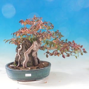 Vonkajší bonsai -Carpinus CARPINOIDES - Hrab kórejský