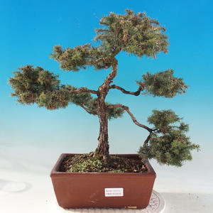 Vonkajšie bonsai - Cypruštek hrachonosný - Chamacyparis pisifera sqarosa dumosa