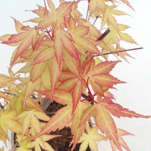 Venkovní bonsai-Acer Sango Koku- Javor dlanitolistý