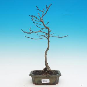 Venkovní bonsai -Ulmus GLABRA - Jilm horský