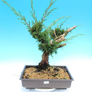 Yamadori Juniperus chinensis - jalovec
